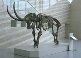 アケボノゾウ